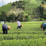 bike tour to a green tea farm